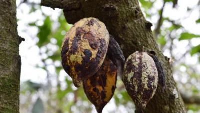 cacaoxmalade.jpg