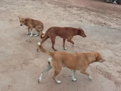chiens-errants.jpg