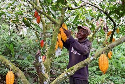 evaluer-les-cacaoyeres-agroforestieres-pour-concevoir-de-nouveaux-systemes-de-culturelightbox.jpg
