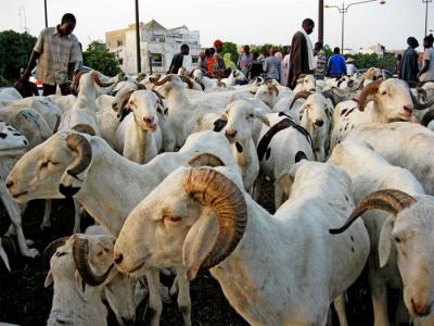 moutons_tabaski_4.jpg